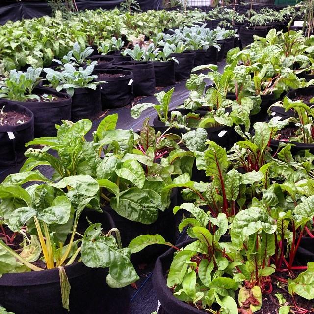 Beets chard kale