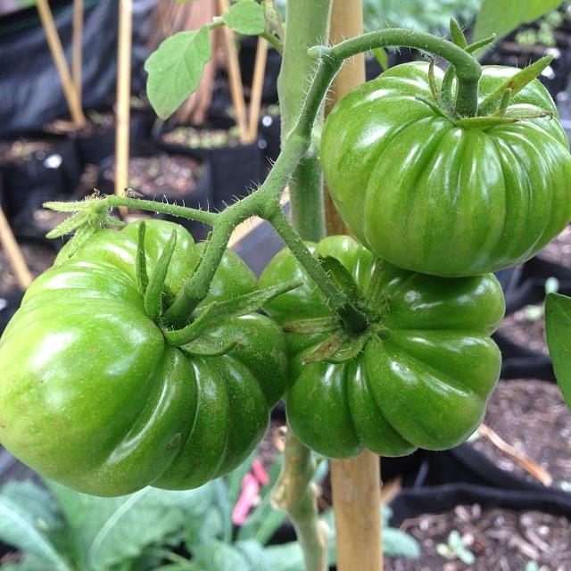 Costaluto Genovese Heirloom tomato