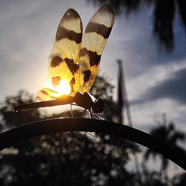 Sunrise dragonfly