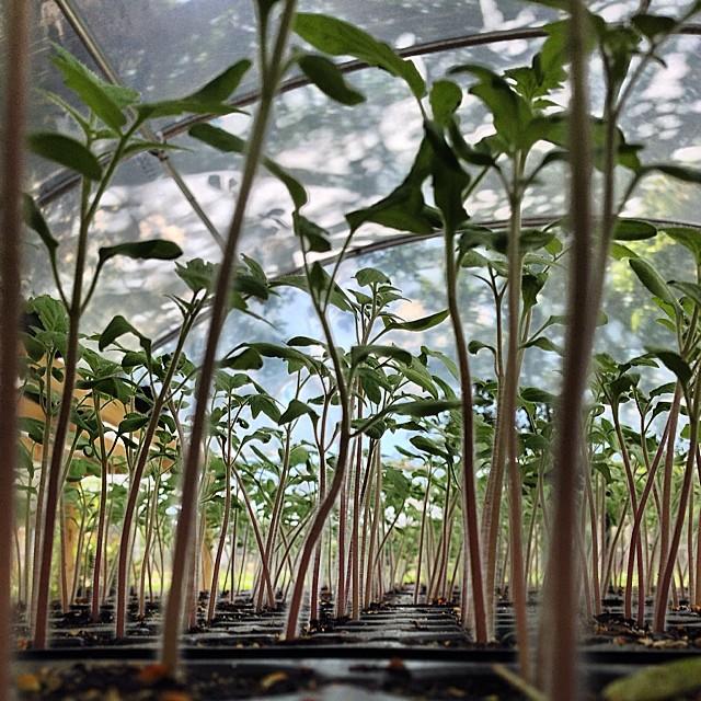 Tomato seedling jungle