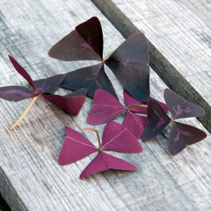 butterfly sorrel closeup