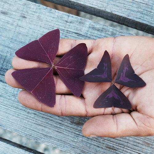butterfly sorrel in hand