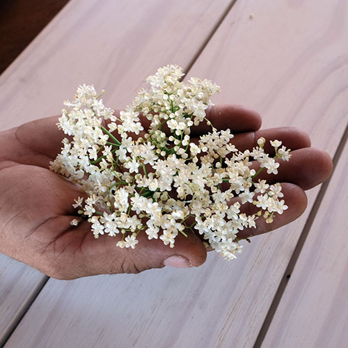 elderflowers in hand