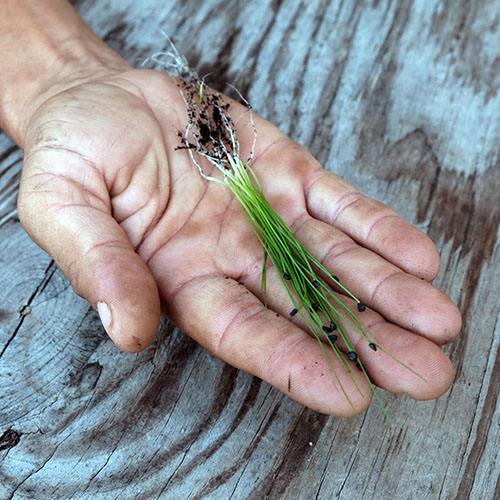 garlic chives in hand