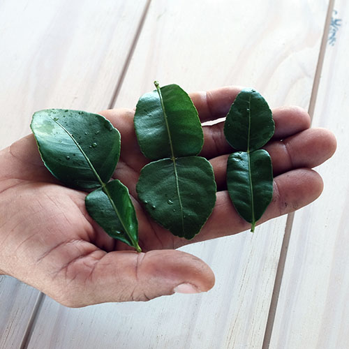 kaffir leaves in hand