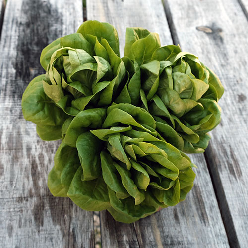 green butter lettuce