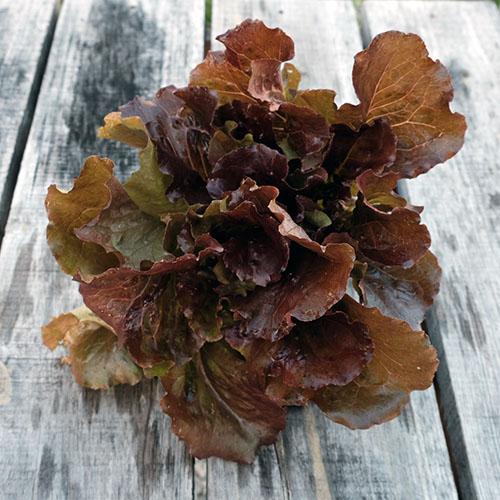 red bibb lettuce