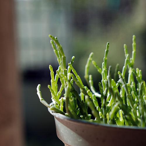salicornia growing