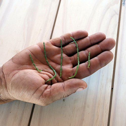 salicornia in hand